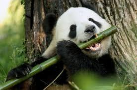 (El bambú es el alimento favorito del Panda)